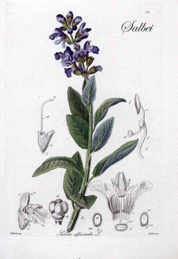Illustration von Salbei (lat. Salvia officinalis)